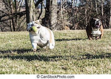 prise, chiens, jouer, deux