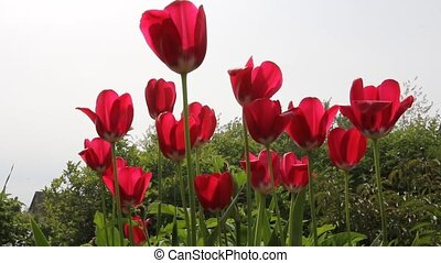 prise vue., -, tulipes, champ, rouges, voyante