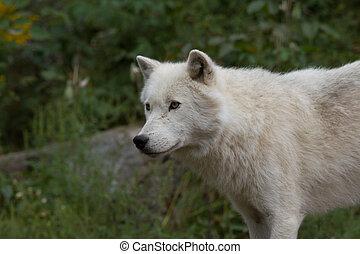 profil, loup arctique