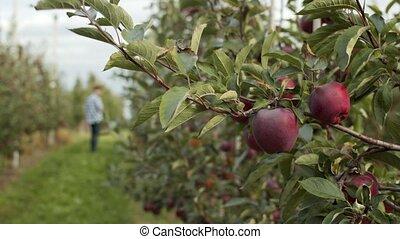 promenades, adulte, homme, premier plan, orchard., pommier, frais, pommes