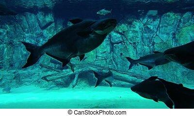 public, fish, vidéo, ultrahd, pangasius, aquarium., autre, école