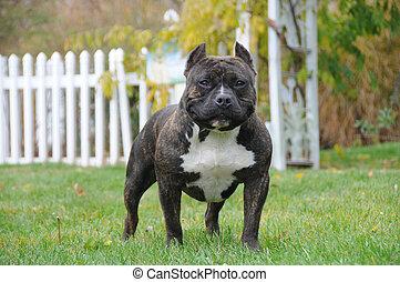 purebred, américain, tyran, canin, chien