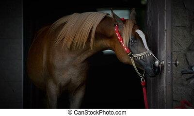 purebred, cheval, arabe