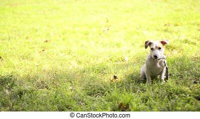 purebred, parc, chiens, séance