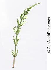 queue cheval, arvense., equisetum, plant:, médicinal