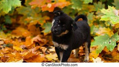 quoique, baissé, regarde, chiot, debout, jaune, attentivement, feuilles, parc, mignon, appareil photo, noir
