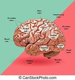 réaliste, plan, cerveau humain