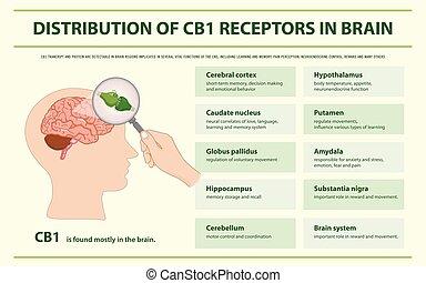 récepteurs, cerveau, infographic, distribution, cb1, horizontal