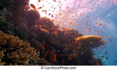 récif corail, fish, rouges