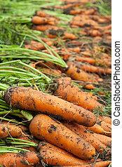 récolte, carottes