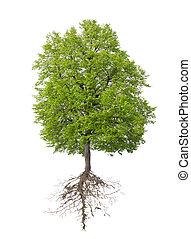 racine, arbre