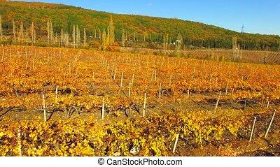 rangées, aérien, saison, vignobles, automne, vue.