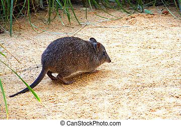 rat-kangaroo., potoroo, aussi, long-nosed, -, mis danger, potorous, animal, connu, australien, nocturne, espèce, tridactylus., indigène