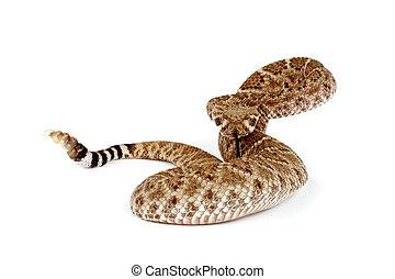 rattlesnake., portrait