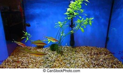 rayé, aquarium, poissons, natation