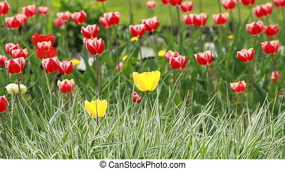 rayé, fleurir, tulipes, herbe