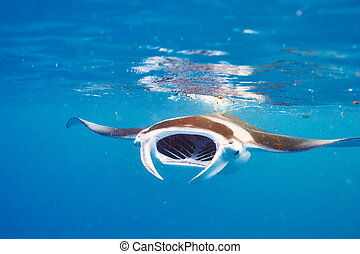 rayon, sous-marin, flotter, manta