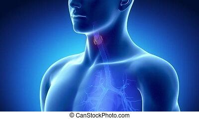 rayon x, thyroïde, anatomie, bleu, mâle