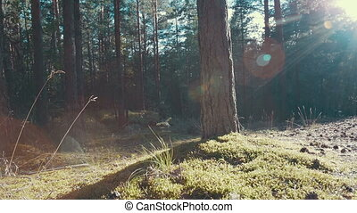 rayons soleil, forêt, pin