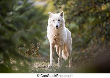 regarder, arctique, appareil photo, loup