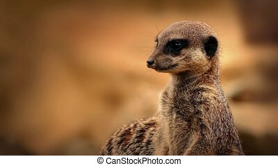 regarder, closeup, autour de, meerkat