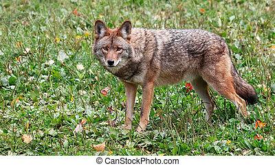 regarder, coyote, appareil photo