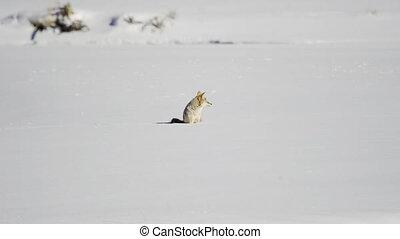 regarder, coyote, autour de