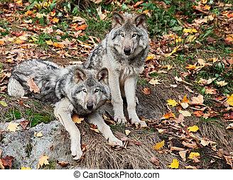 regarder, loups gris, appareil photo, deux