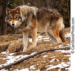 regarder, printemps, appareil photo, jour, coyote