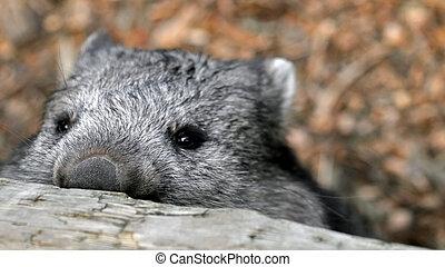 regarder, wombat, sur, barrière, sournois
