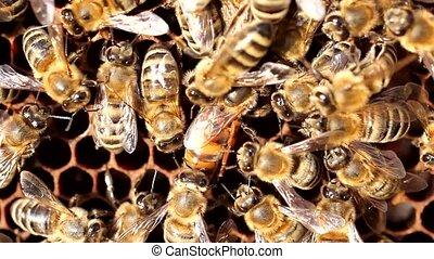 reine abeilles