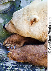 reposer, grizzly