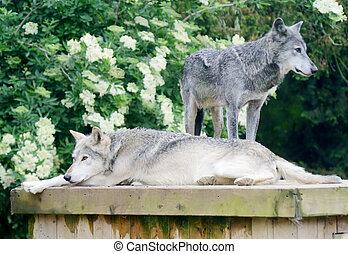reposer, loups