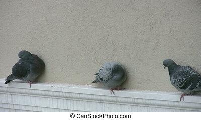 reposer, pigeons