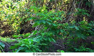 reposer, wetlands, jaguar, obtenir, après, pantanal, forêt