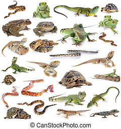 reptile, amphibie