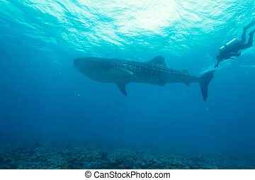 requin baleine, (rhincodon, typus), plongeurs