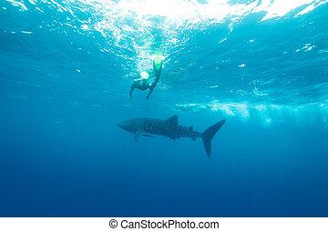 requin, maldives, (rhincodon, typus), baleine, plongeurs