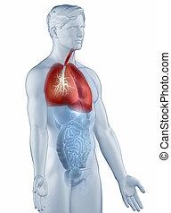 respiratoire, latéral, isolé, système, anatomie, homme, vue