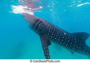 rhincodon, baleine, sous-marin, pousse, (, typus), requins, gigantesque