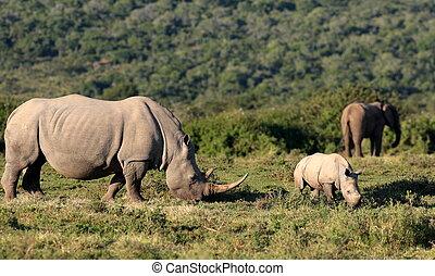 rhinocéros, ensemble, éléphants