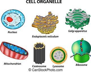 ribosome., centrosome, ensemble, endoplasmique, appareil, isolé, reticulum, organelles., cellule, lysosome, infographics., vecteur, mitochondries, illustration, fond, golgi, noyau