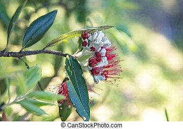 rivage, connu, rouges, northland, arbre noël, pohutukawa, trouvé, fleurir, nouvelle zélande, presque, fleurs