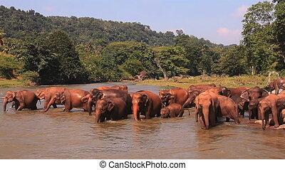 river., éléphants, entrer