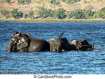 rivière, chobe, baigner, botswana, éléphants