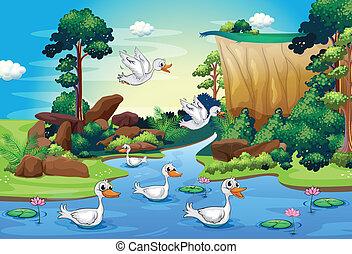 rivière, groupe, forêt, canards