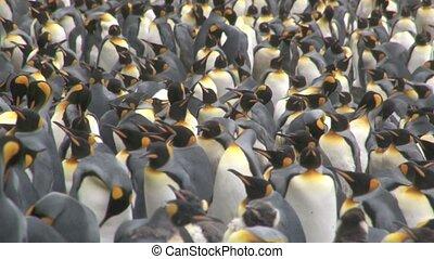 roi penguin, (aptenodytes, patagoni)