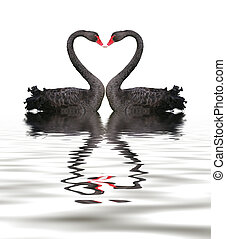 romance, cygne, noir