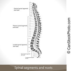 roots., segments, spinal