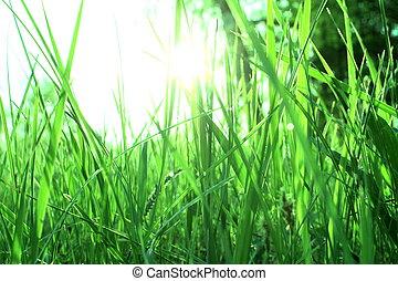 rosée, herbe verte, matin